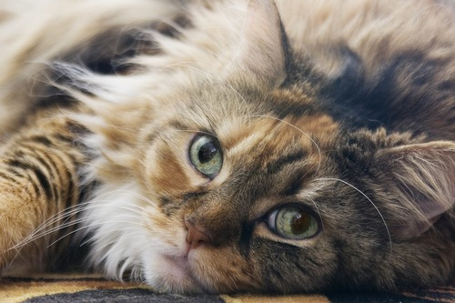 寝そべっている猫の顏のアップ