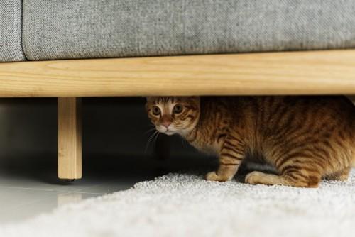 ソファの下に潜る猫