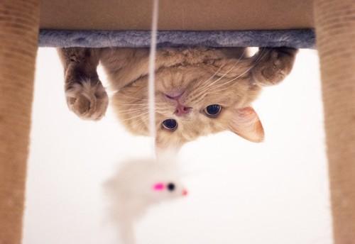 タワーの上段からネズミの玩具をのぞく茶トラ