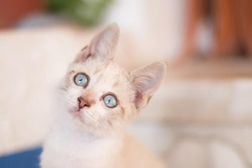 耳が立った青い目の猫