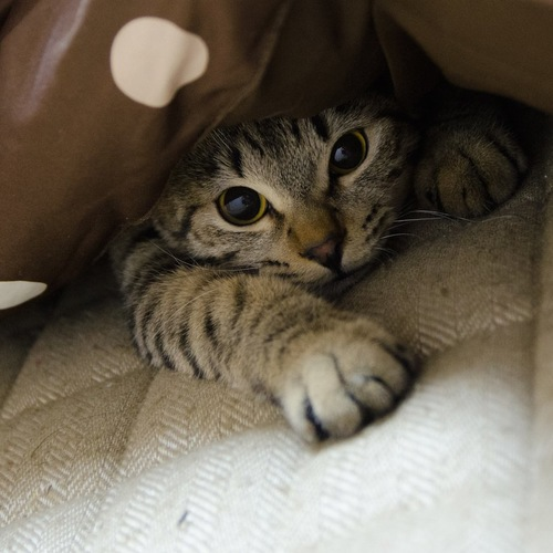 こたつの中でくつろぐ猫