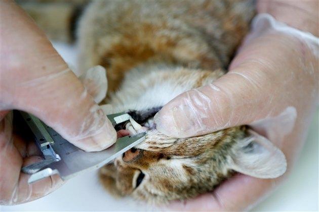 歯の長さを測られるキツネネコ