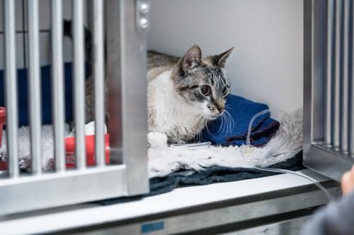 病院のゲージに入院している猫
