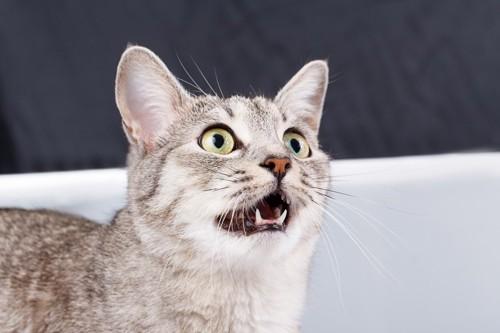口を半開きにする猫