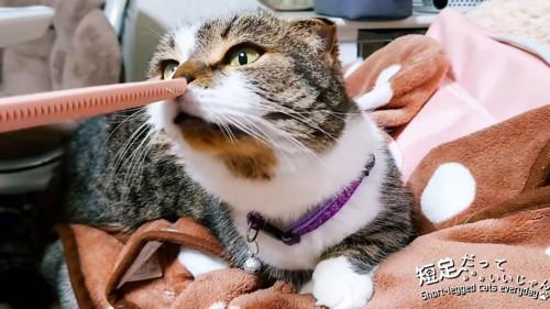 猫じゃすりに鼻をつける猫