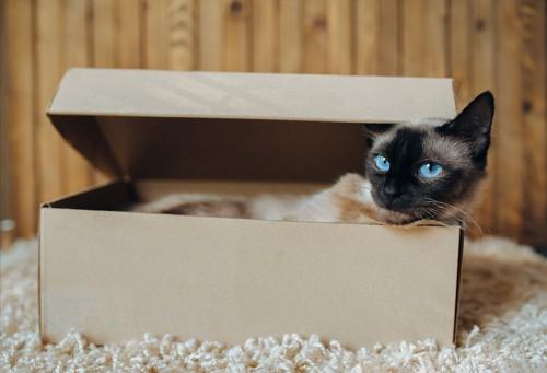 ダンボール箱の中から顔を出す猫