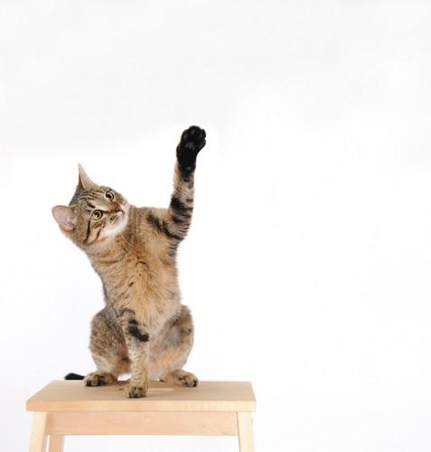 テーブルに座って左手を上げる猫
