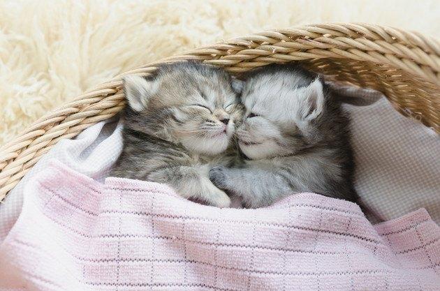 カゴの中で眠る2匹の子猫の写真