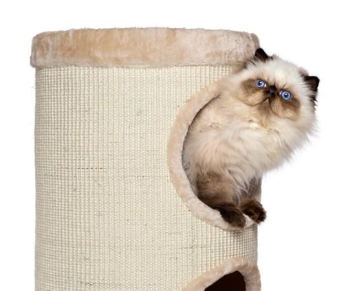 キャッとタワーで遊ぶ猫
