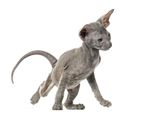 走り出そうとしているピーターボールドの子猫