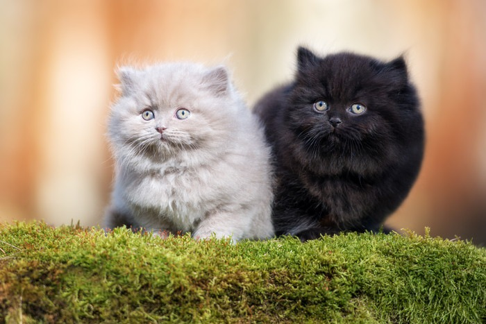 2匹のブリティッシュロングヘアの子猫
