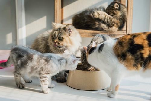 一つの器でご飯を食べるたくさんの猫