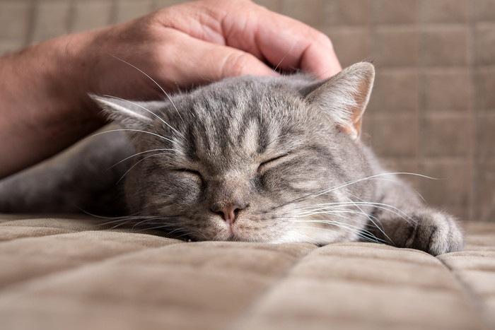 触られて寝ている猫