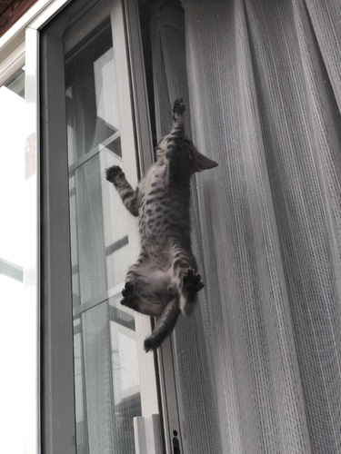 スパーダーマン猫