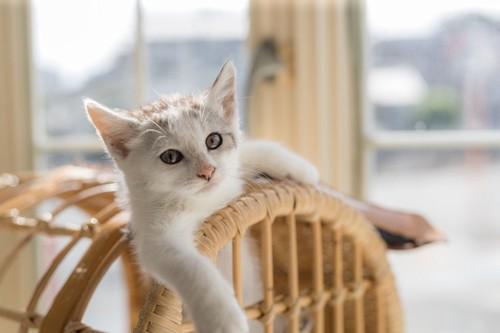 ドヤ顔の子猫
