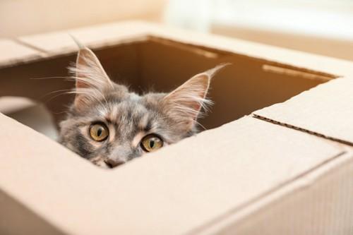 怖がって箱にはいる猫