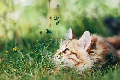 芝生の上で上の方を見る猫