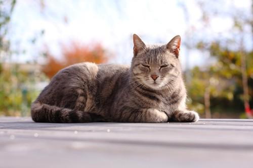 ひなたぼっこする猫