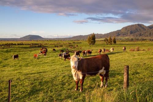 広大な土地で放牧されている牛たち