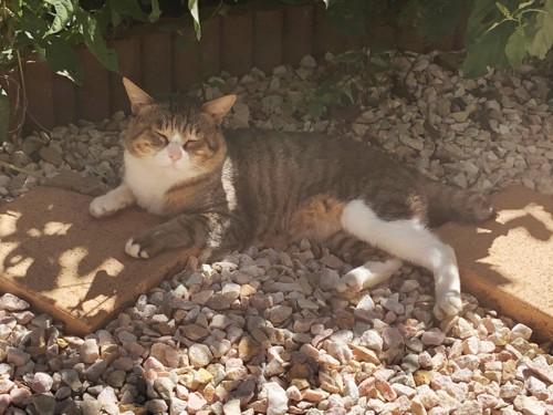 庭でまどろむボス猫