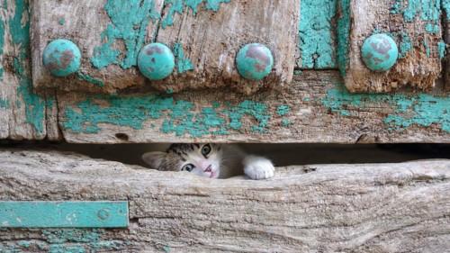 木の扉の隙間から手を出す子猫