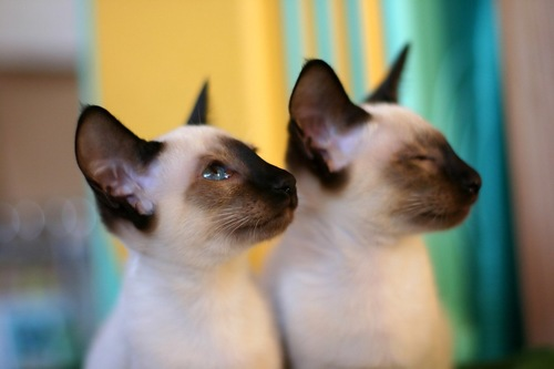 二匹のシャム猫