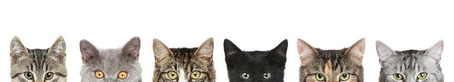 6品種の猫の目から上の部分