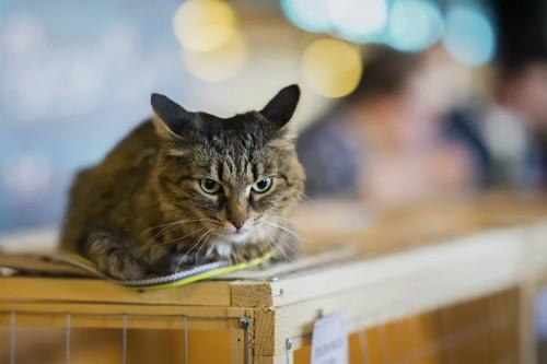 台の上でイカ耳になっている猫