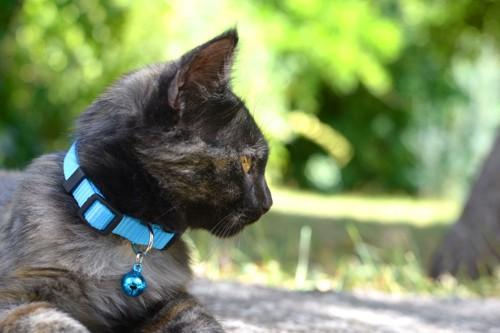 水色の首輪をした猫