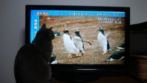 テレビのペンギンを見る灰色猫