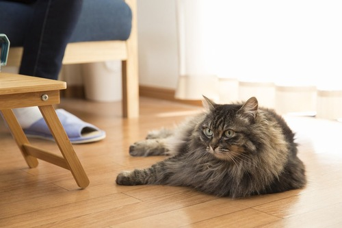 床の上に寝そべる猫