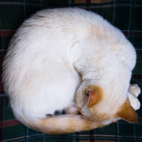 丸くなって寝る白い猫