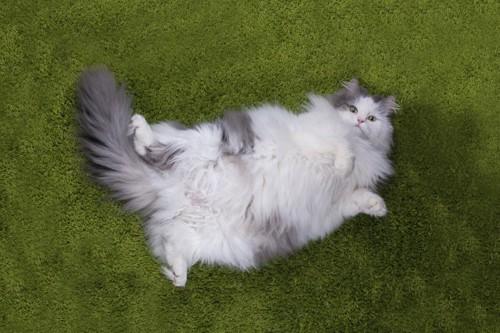 肥満気味の猫