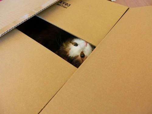 ダンボール箱の中から見上げている猫
