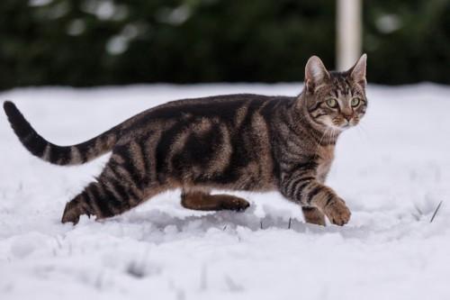 スキップする猫