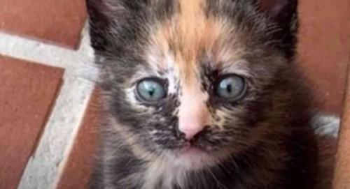 サビ色の子猫