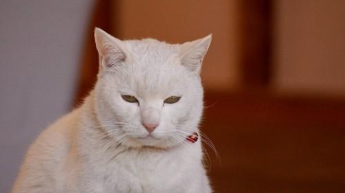 不機嫌そうな表情の猫