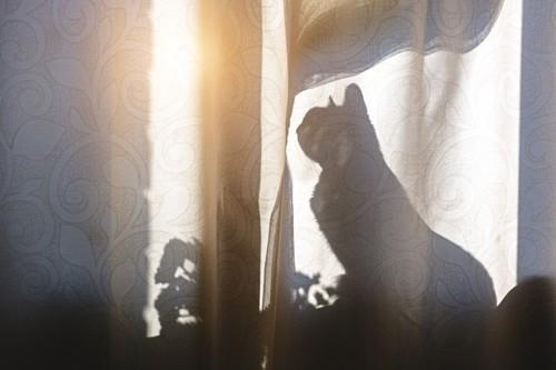 カーテンに映る猫のシルエット