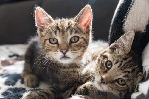 じゃれあって重なり合う二匹の子猫