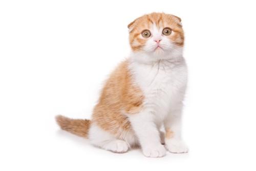 座るスコティッシュフォールドの子猫