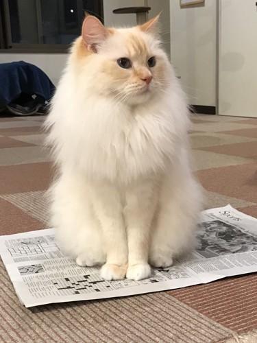 新聞紙の上で他の猫たちの様子を見守る丈二