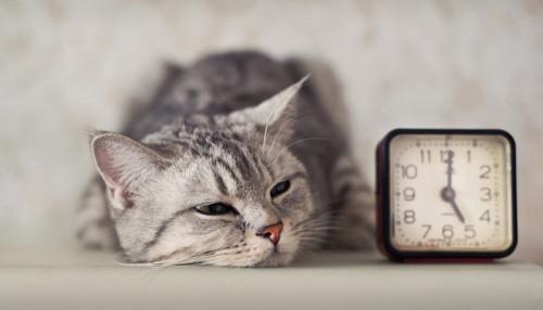 目覚まし時計の横で眠そうな猫