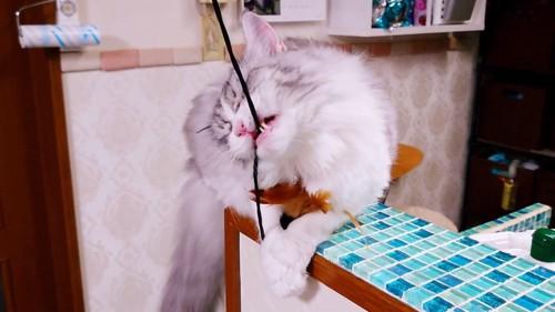 紐を噛む猫