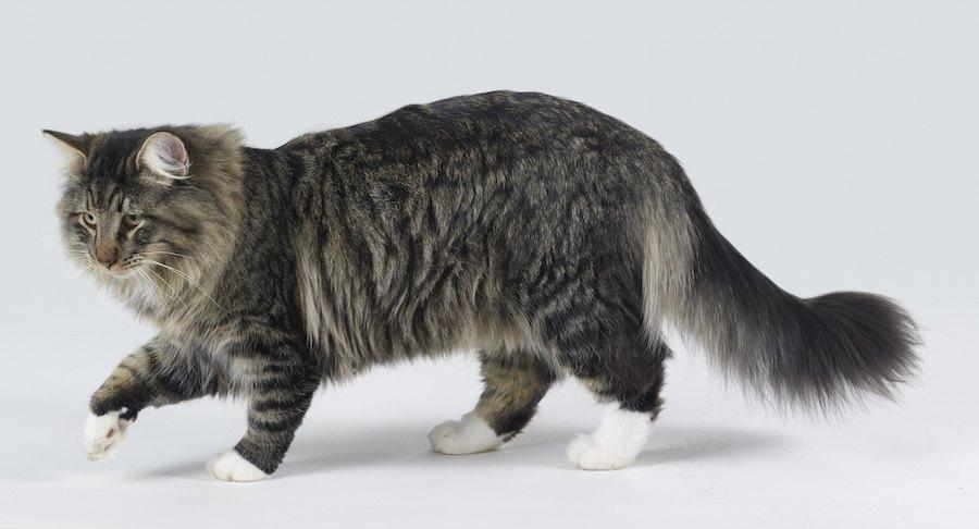横を向いて歩く長毛猫