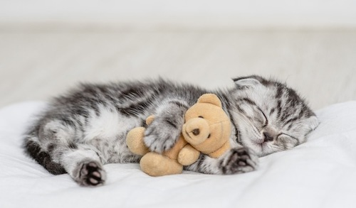 ぬいぐるみと寝る子猫
