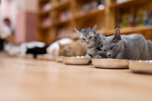 各々お皿で食べる猫たち