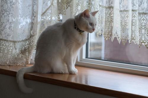 猫背で外を眺める白猫