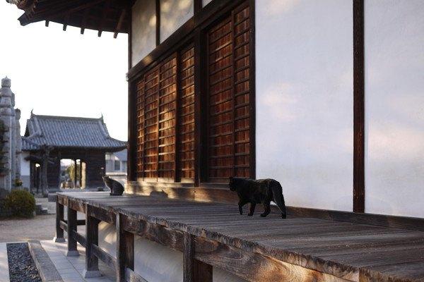 黒猫が神社外の廊下を歩く