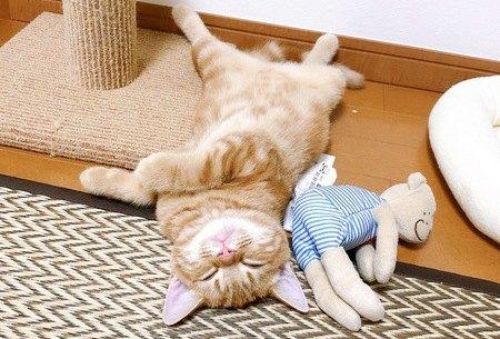 仰向けで熟睡する猫