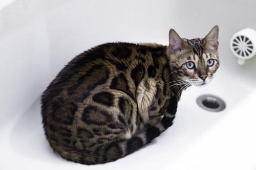 お風呂場にいる猫